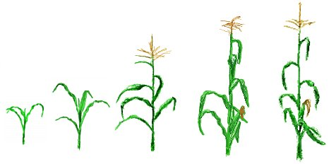 corn drawings